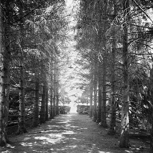 Destined fir greatness: a vintage, tree-lined path in bewitching b+w.