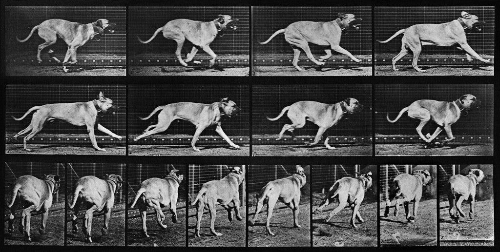 Animal Locomotion: Plate 707 (Dog)
