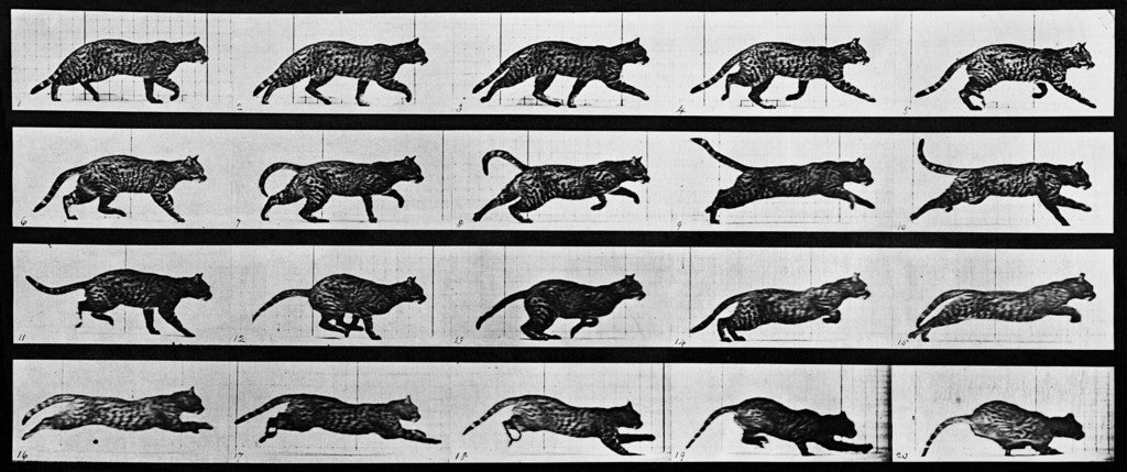 Eadweard Muybridge S Animal Locomotion Plate 717 Cat