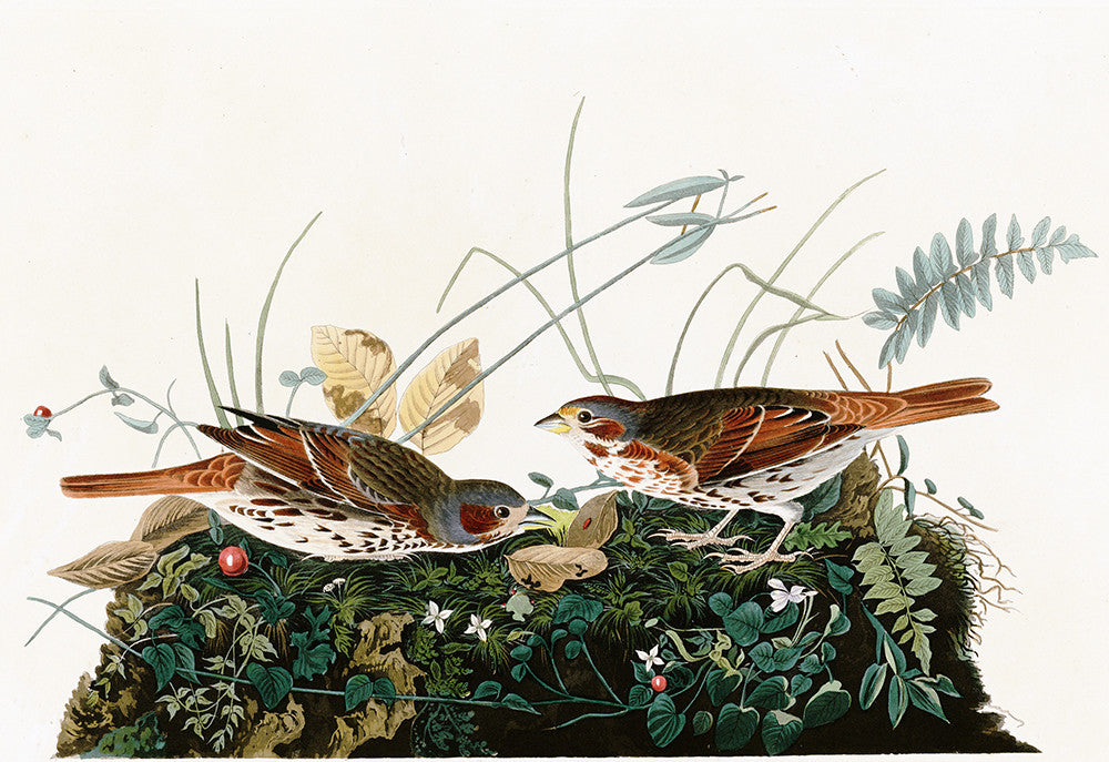 Plate 108: Fox-coloured Sparrow