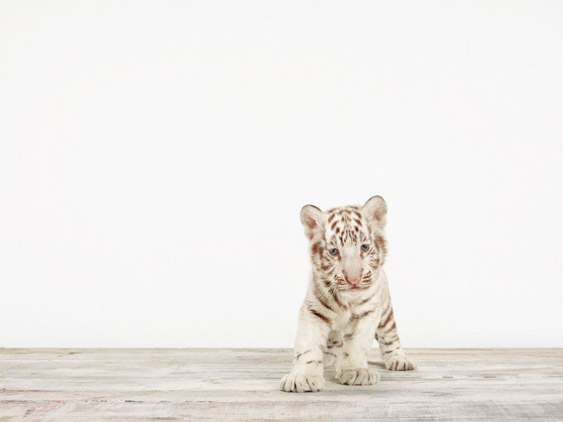 Baby White Tiger No. 5