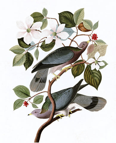 Plate 367: Band-tailed Pigeon