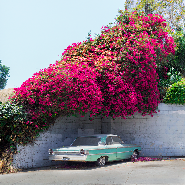 Bougainvillea Galaxie (quick-ship)