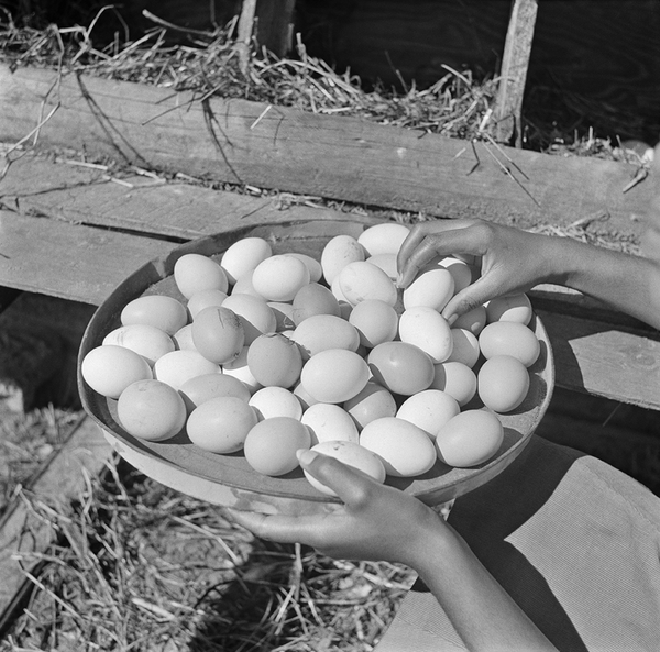 Eggs gathered by a student, Bethune-Cookman College