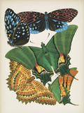 Papillons, Plate 6