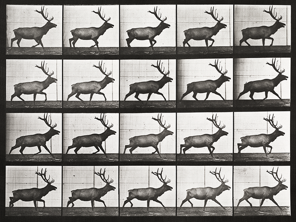 Animal Locomotion: Plate 692 (Elk; trotting)