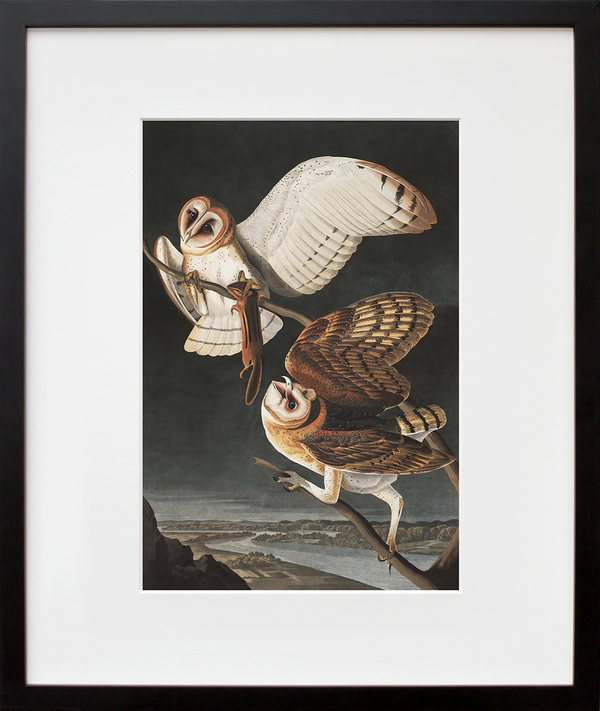 Plate 171: Barn Owl (framed + quick-ship)