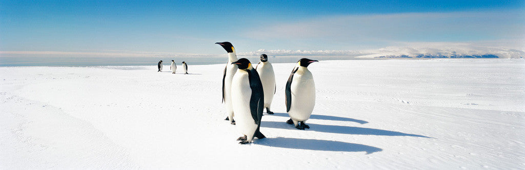 Emperor Penguins, Ross Sea, Antarctica