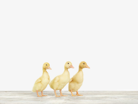 Three Ducklings