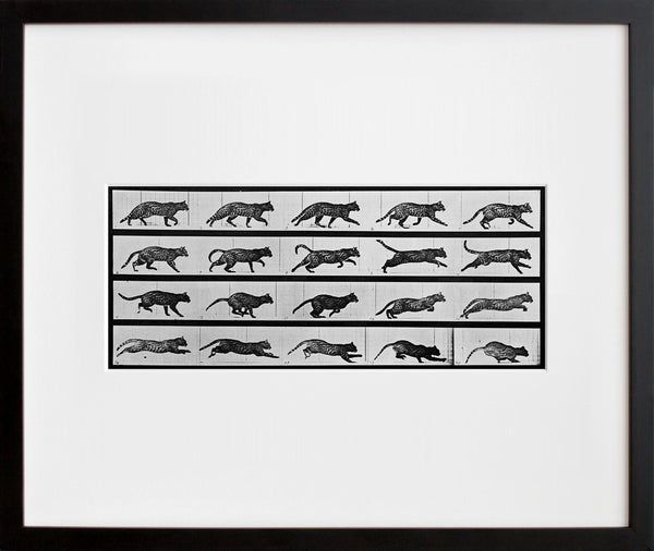 Animal Locomotion: Plate 717 (Cat)
