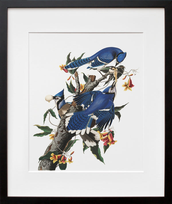 Plate 102: Blue Jay