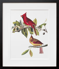 Plate 159: Cardinal Grosbeak