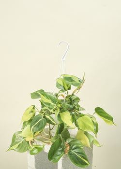 Philodendron Brasil, Hanging