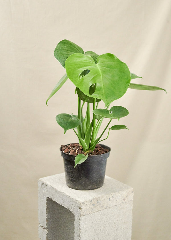 Swiss Cheese Plant, Monstera