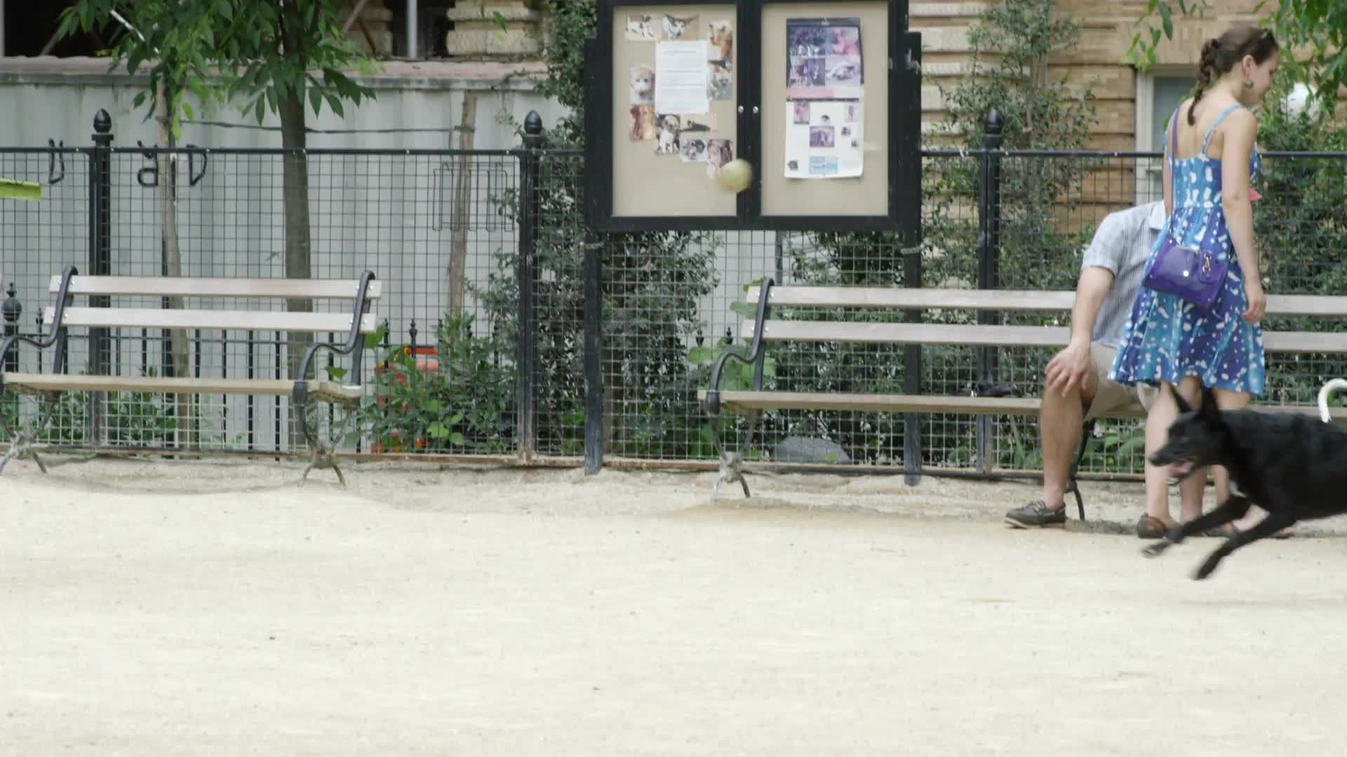 black dog running and catching ball - fetching at dog run on summer day in Washington Square Park in NYC