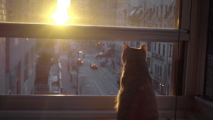 cat watching sunset from interior Manhattan apartment window sill in NYC