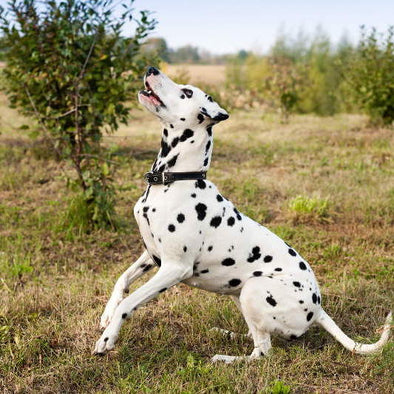 Can Dogs Eat Bugs?_Blog_Barking Dog Bakery & Feed_Dalmatian