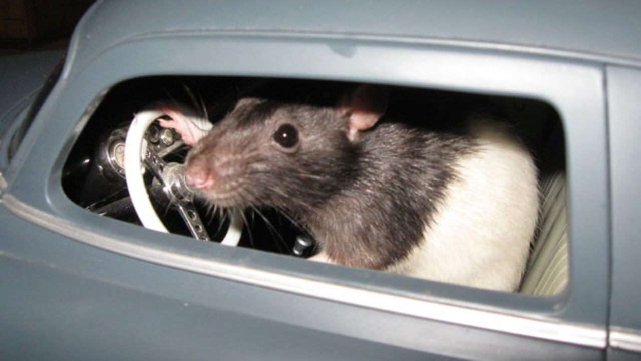 5 Ways to Get Rid of Rats in Your Car Naturally