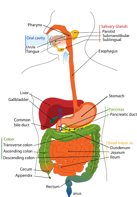know your digestive system