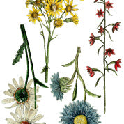 Wildflower Botanicals transfer- IOD