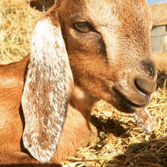 fawn_colored_kid_goat