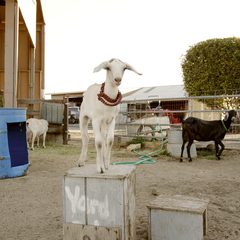 goat_standing_on_box