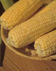 SWEETCORN HYBRID EARLY SUNGLOW 1/2 LB