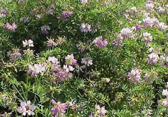 VETCH CROWN 1 LB