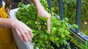 basil-101-how-to-take-care-of-basil