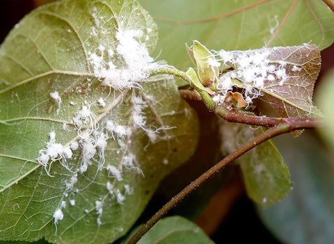 mealy-bugs-on-leaf