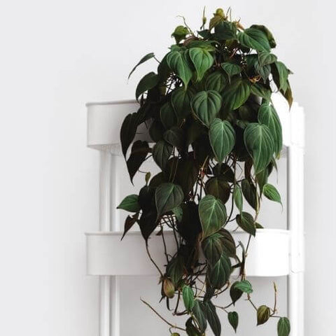philodendron micans one of the best plants for beginners