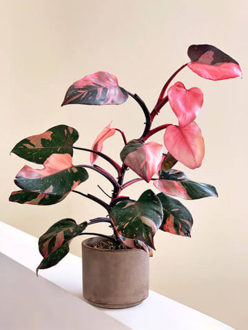 Philodendron Pink Princess is one of the prettiest