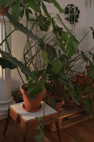 philodendron too big for space