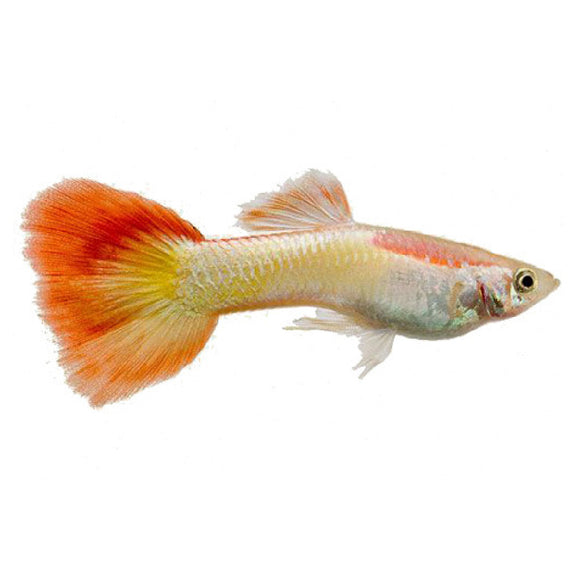 Micariff Sunset Guppy Male 3cm