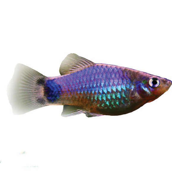 Live Fish - 4CM PLATY BLUE MICKEY MOUSE