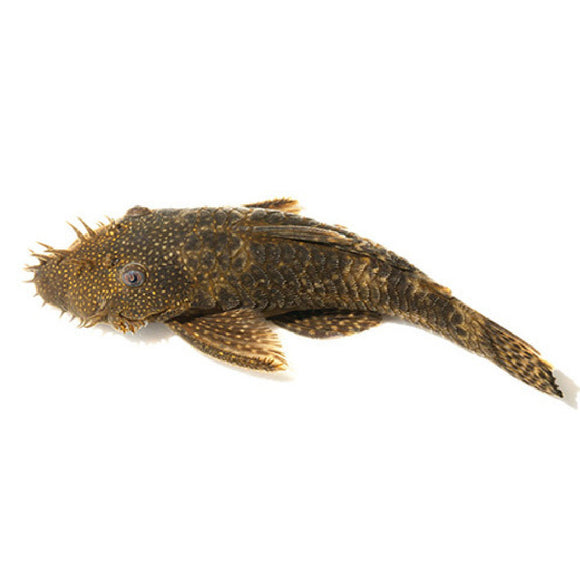 Live Fish - Bristlenose Catfish