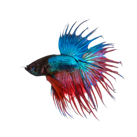 Live Fish - Crowntail Fighter / Betta 6cm Assorted Colours