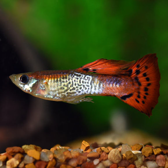 Live Fish - Male Red Cobra Guppy 3cm