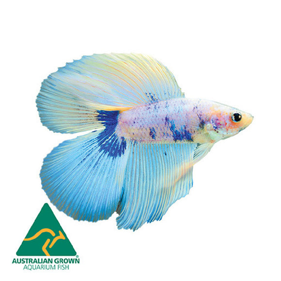 Live Fish 6cm Double Tail Male Fighter
