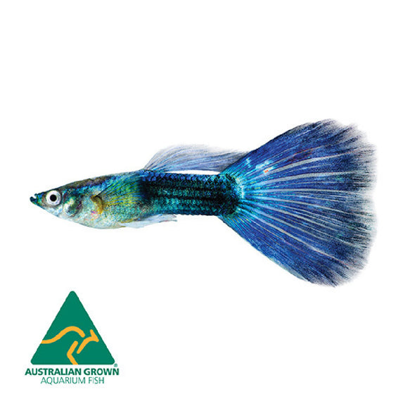 Blue Neon Guppy Male 3cm