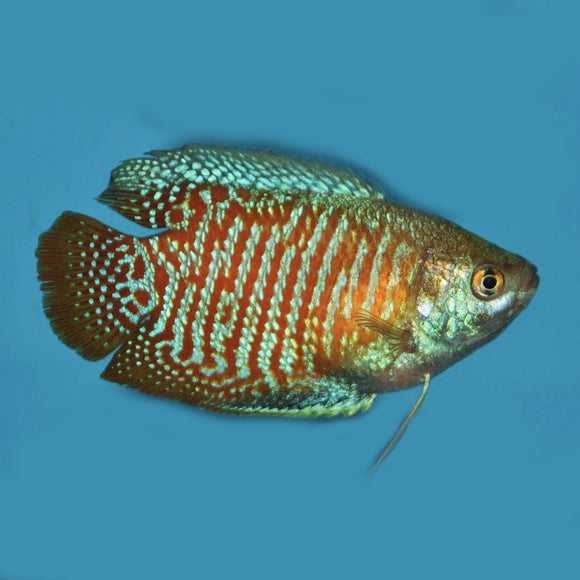 Live Fish - Dwarf Red Flame Gourami 5cm