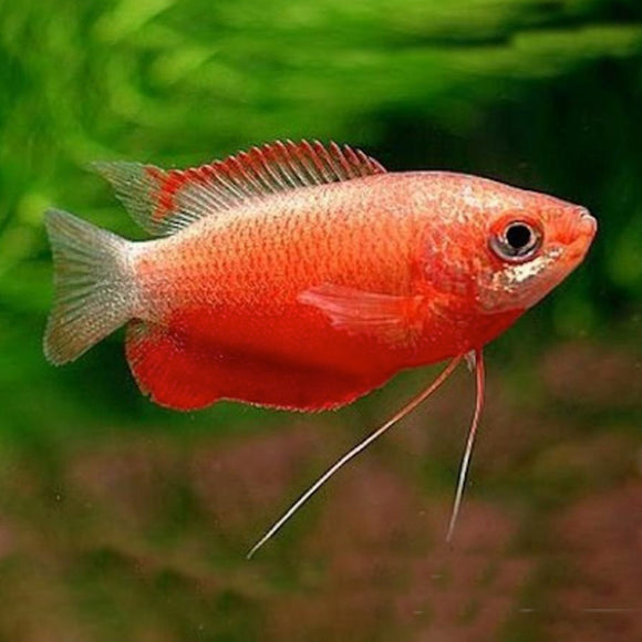 Live Fish - Dwarf Red Honey Gourami 4.5cm