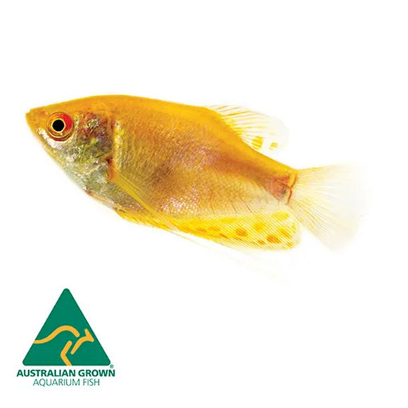 Live Fish - Golden Gourami 5cm