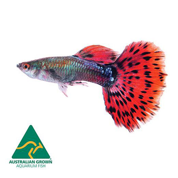 Live Tropical Fish - Assorted Guppy Male 3.5cm