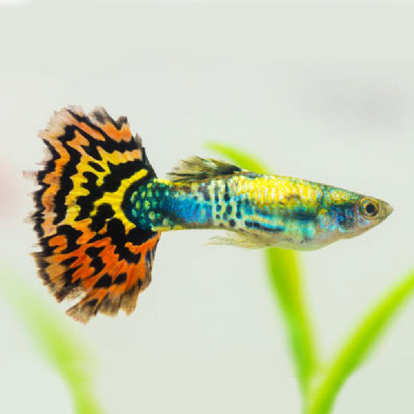 Live Tropical Fish - Assorted Guppy Mosaic Tail