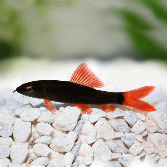 Red Tail Black Shark 5cm
