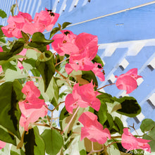 Load image into Gallery viewer, Bougainvillea