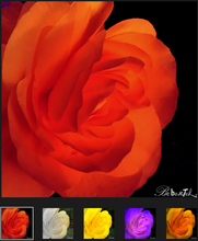 Load image into Gallery viewer, Rosé