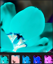 Load image into Gallery viewer, Tulip