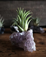 "Load image into Gallery viewer, Amethyst ""Intuition"" Crystal with Live Air Plant Tillandsia, Amethyst Gift, Air Plant Crystal Gift, Air Plant Holder, Crystal Air Planter"